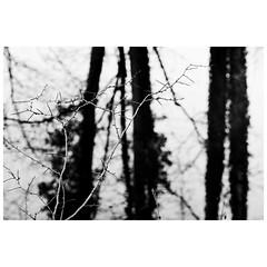 (Silas Slack) Tags: woods bw blackandwhite trees norfolk carletonforehoe river tiffey leica leicam10 90mm elmarit elmaritm