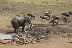 A Busy Afternoon at the Waterhole (Rckr88) Tags: krugernationalpark southafrica kruger national park south africa a busy afternoon waterhole abusyafternoonatthewaterhole elephant elephants water wildebeest waterbuck animal animals naturalworld nature outdoors wilderness wildlife