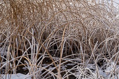 Icy frozen grasses covered in snow in the winter (m01229) Tags: vermillionlakes winter icy winterscene icecovered snow grasses trees reeds parkway banff rocks banffnationalpark alberta pond bowriver canada bowvalley frozen cold ice