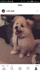My girlfriends lil snooty boy as a puppy (sandiagadeni) Tags: dog puppy cute puppies