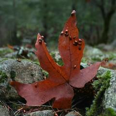 Ladybugs! (tiffani.fallen) Tags: ladybug ladybugs leaf norcal northern california forksofbuttecreek buttecreek magalia buttecounty