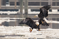 """""""Ice Capades"""" (American Bald Eagles) (Mitch Vanbeekum Photography) Tags: baldeagle eagles adult fight fighting fish fishing ice cold winter water hudsonriver ny newyork mitchvanbeekum mitchvanbeekumcom canon14teleconvertermkiii canoneos1dx canonef500mmf4lisiiusm haliaeetusleucocephalus americanbaldeagle flight inflight flying fly river snow"""
