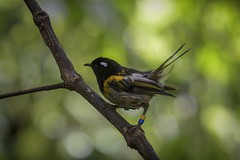 Stitchbird or hihi - male (Notiomystis cincta) (njohn209) Tags: birds d500 nikon nz