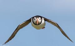 Puffin on the wing. (Steve (Hooky) Waddingham) Tags: stevenwaddinghamphotography animal coast bird british nature northumberland flight fish farnes sea summer wild wildlife planet