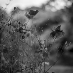 Poppies (esztervaly) Tags: blackandwhite blackandwhitephotography naturallight natural nature forest bokeh bokehbackground macro flower flowers summer summertime summerafternoon flowersandplants plants