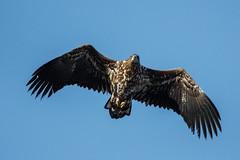 White-tailed eagle (dorithur) Tags: bird eagle animal sky feather wildlife bif