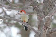 086. Woodpecker (Misty Garrick) Tags: arboretum universityofminnesotalandscapearboretum landscapearboretum flowershow bird birds birding
