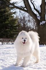 Z i z i (tnikki_photography) Tags: winter park dog smileysammy samoyed