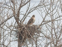 Christo in the nest (Goggla) Tags: christo nyc new york east village tompkins square park urban wildlife bird raptor red tail hawk adult male nest ginkgo 2019