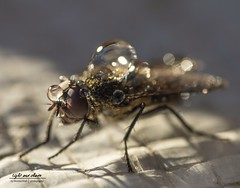 Fliege 2.0 (Light and shade by Monika) Tags: macro fliege waterdrops insect