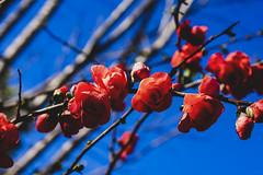 chaenomeles, orange storm (valerie something or other) Tags: chaenomeles flower orange winter raleigh carolina arboretum