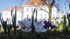 Frühling im Februar (petra.foto busy busy busy) Tags: fotopetra frühling februar sony travemünde ostsee schleswigholstein germany krokusse blumen blüten natur outside sonne sonnenlicht