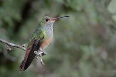 Buff-bellied Hummingbird (Greg Lavaty Photography) Tags: buffbelliedhummingbird amaziliayucatanensis texas december esterollanogrande statepark hidalgocounty birdphotography outdoors bird nature wildlife