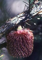 Banksia nutans, Kings Park, Perth, WA, 21/12/94 (Russell Cumming) Tags: plant banksia banksianutans proteaceae kingspark perth westernaustralia