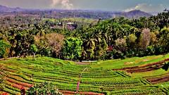 INDONESIEN, Bali ,unterwegs nach Klungkung (Reisterrassen) 18028/11265 (roba66) Tags: bali urlaub reisen travel explore voyages rundreise visit tourism roba66 asien asia indonesien indonesia insel island île insulaire isla reisterrassen rice ricefields reis green grün landschaft landscape paisaje nature natur naturalezza