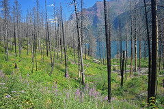 Glacier national park hiking (kirsten.eide) Tags: travel landscapes nikond3300 nikon colors purple flowers water river mountains trees grass beargrass hiking nps glaciernationalpark