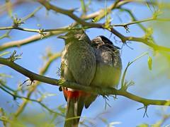 Unhappy couple (hasham2) Tags: birds wildlife wild sony sonyalpha nature dof a77m2 minolta minoltaaf100300mm