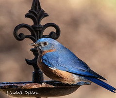 Eastern bluebird (Lindell Dillon) Tags: easternbluebird bird birding nature oklahoma normanok sialis wildoklahoma