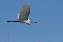 Grande Aigrette - Ardea alba - Western Great Egret (Alain-46) Tags: grandeaigrette ardeaalba westerngreategret pélécaniformes ardéidés