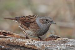 Passera Scopaiola (Marcello Giardinazzo) Tags: passerascopaiola prunellamodularis birds wild uccelli avifauna natura