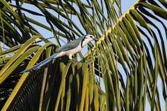 White-throated Magpie Jay (Peter Stahl Photography) Tags: santacruz guanacasteprovince costarica cr whitethroatedmagpiejay magpiejay jay wildlife bird