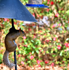 _DSC9428 (Paul_1961) Tags: wildlife nature northwest florida panhandle nikon d7200 sigma 120400mm squirrel