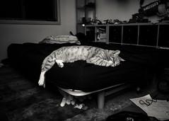 Tired Tiger (Eddy Summers) Tags: pentaxk1 pentaxaustralia pentax k1captures k1 portrait portraitphotography cat catsofflickr cats catsofinstagram fluffy meow moggy pentaxprimes pet rni rnifilm reallyniceimages af201fg flash jem monochrome blackandwhite agfascala200
