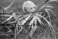 Chewy Time (macromary) Tags: 50mm summicron leicaflexsl leica leitz leicaflex slr primelens vintage camera manual film 35mmfilm filmcamera vintagecamera vintagelens oldglass mechanicalcamera analog availablelight analogphoto bw monochrome blackandwhitefilm blackwhitefilm 35mm 35mmbwfilm analogphotograph fomapan fomafilm fomapan100 fl rodinal man lab labrador yellowlab florida molly