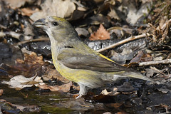 Crossbill (Kentish Plumber) Tags: crossbill loxiacurvirostra finch female drinking ditch detailed 2019 march eastsussex uk southeast southernengland