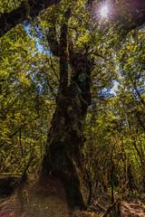 Bloated (StarCitizen) Tags: newzealand rainforest tree woods enchantedforest