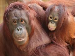 orangutan Lea and Suria Krefeld 094A0707 (j.a.kok) Tags: orangutan orangoetan orang animal asia azie aap ape mammal monkey mensaap motherandchild moederenkind zoogdier dier primate primaat lea suria krefeld