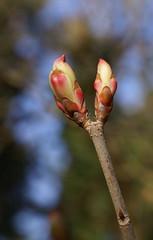 Kastanie, Ohio-Ross- / Ohio buckeye (Aesculus glabra) (HEN-Magonza) Tags: botanischergartenmainz mainbotanicalgardens frühling spring flora rheinlandpfalz rhinelandpalatinate deutschland germany natur nature ohiorosskastanie ohiobuckeye aesculusglabra