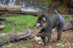 Mandrill popcorn party (Pejasar) Tags: mandrill popcorn party primate fortworth zoo texas zoosofnorthamerica color mammal animal