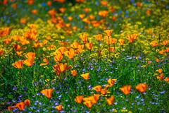 California Socal Superbloom! Nikon D850 & AF-S NIKKOR 28-300mm f/3.5-5.6G ED VR from Nikon! Diamond Valley Lake Wildflower Trail Wild Flower Super Bloom! California Wildflowers Superbloom Fine Art! Elliot McGucken Fine Art Landscape Photography (45SURF Hero's Odyssey Mythology Landscapes & Godde) Tags: nikon d850 afs nikkor 28300mm f3556g ed vr from diamond valley lake wildflower trail wild flower super bloom california wildflowers superbloom fine art photography elliot mcgucken landscape nature