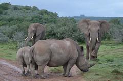 African Bush Elephant vs. White Rhino (Arts and animals) Tags: africanbushelephant whiterhino animals animalover