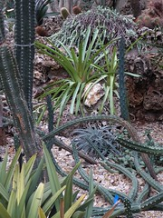 Chicago, Garfield Park Conservatory, Desert Room, Cacti and Succulents (Mary Warren 13.1+ Million Views) Tags: chicago garfieldparkconservatory nature flora plants green leaves foliage desert cactus succulent