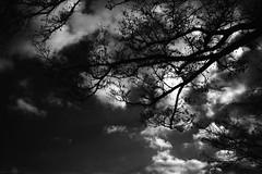 枝 (frenchvalve) Tags: 枝 空 雲 tree sky cloud film filmphotography analog 35mm monochrome bnw rangefinder fixedlens