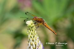 SCARCE-CHASER-DRAGONFLY-27-5-18-RSPB-STRUMPSHAW-FEN-(5) (Benn P George Photography) Tags: rspbstrumpshawfen 27518 bennpgeorgephotography rspb scarcechaser dragonfly chaser nature fens norfolk norwich nikon nikond7100 nikon200500 d7100