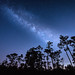 The Milky Way over slash pine trees at Babcock Wildlife Management Area near Punta Gorda, Florida