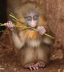 mandrill artis 094A0249 (j.a.kok) Tags: animal artis africa afrika aap mammal monkey mandril mandrillussphinx mandrill zoogdier dier primate primaat