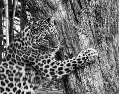 (Light Echoes) Tags: sony a7ii ilce7m2 2019 spring april philadelphiazoo zoo philadelphia mammal feline bigcat leopard