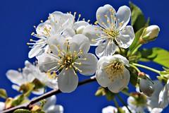 Blossom (nagyistvan8) Tags: nagyistván túrkeve magyarország magyar hungary nagyistvan8 természet nature háttérkép background colors kék zöld barna szürke színek fekete blue green brown grey rügy rügyfakadás budding flowering tavasz spring fa tree égbolt sky bibe blossom 2019 nikon