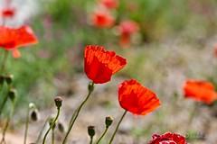 Amapolas. (EFD-fotolab) Tags: macrofotografia macro efdfotolab nikond610 nikkor105mm nikon nature naturaleza españa primavera2019 floressilvestres flowers amapola