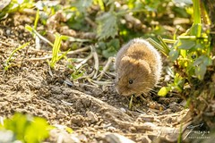 Bank Vole (Myodes glareolus) (formerly Clethrionomys glareolus) (PhasmatosOculus) Tags: april 2019 april2019 mammal mammals rodent rodents rivernene barnwellcountrypark barnwellpark barnwell country park northamptonshire wildlifeanimal wildlife animal animals wildlifeanimals matthewfarrugia matthew farrugia centricmalteser canon6dmkii canon 6d mkii eos6dmkii canoneos6dmkii eos canoneos eastanglia 6dmkii phasmatosoculus