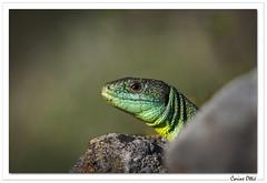 Reptiles en Alsace : le guetteur ! (C. OTTIE et J-Y KERMORVANT) Tags: nature animaux reptiles lézards lézardvert alsace france