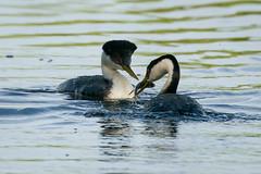 Western Grebe Courtship 7736 (maguire33@verizon.net) Tags: aechmophorusoccidentalis frankgbonelliregionalpark grebe westerngrebe bird courtship wetlands wildlife