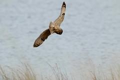 IMG_9946 (monika.carrie) Tags: monikacarrie wildlife seo shortearedowl forvie scotland owl