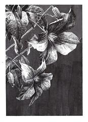 Flowers (calin-h) Tags: inkart inking inkdrawing inkaholic artonpaper graphicart art graphic handdrawing sketch sketchbook sketching drawing drawings drawn