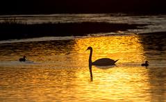 Schwan auf dem Teich (gutlaunefotos ☮) Tags: teich sonnenuntergang schwan