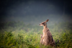 Curious joey and mother kangaroo at sunrise, Snowy Mountains, Au (Catherine Gidzinska and Simon Gidzinski) Tags: 2018 australia dof december endofyear geehi geehiflats kosciuszkonationalpark nsw newsouthwales snowymountains summer sunrise animal babyanimal babykangaroo bokeh femalekangaroo ferns gfern gidzinska gidzinski hiding joey mist misty morning motherkangaroo motherhood nature ngc skippy